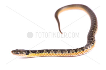 Golden bellied snake (Liophis poecilogyrus) on white background