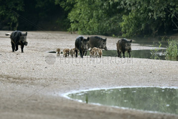 Wild boar (Sus scrofa) groupe with pigglets walking in a low arm of the Loire at dawn in summer  Loire Valley  Burgundy  France