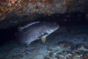 Giant grouper (Epinephelus lanceolatus) in the underwater cave of passe bateau  Mayotte