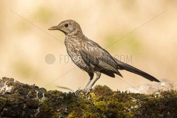 Black bird (Turdus merula) immature  Cordoba  Andalucia  Spain