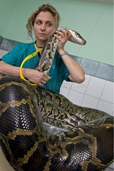 Veterinary examination of Indian Python with stethoscope