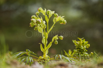 Stinking Hellebore (Helleborus foetidus) on a limestone soil under a spring shower in low mountain  Drome  Rhone-Alpes  France