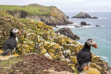 Atlantic puffins (Fratercula arctica)  Saltee islands  Ireland
