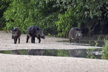 Wild boar (Sus scrofa) groupe walking in a low arm of the Loire at dawn  Loire Valley  Burgundy  France