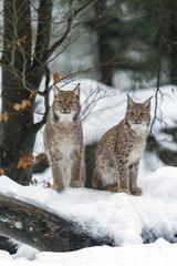 Eurasian lynx (Lynx lynx) sitting in the snow  Sumava National Park  Czech Republic