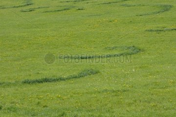 Fairy ring of Saint George's Mushroom in a meadow