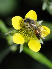 Solitary bee on Buttercup flower - Northern Vosges