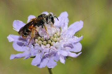 Solitary bee on Scabious flower - Northern Vosges
