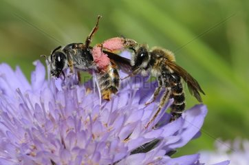 Solitary bees on Scabious flower - Northern Vosges