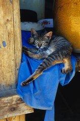 Alley cat sleeping on a blue rag Cambodia