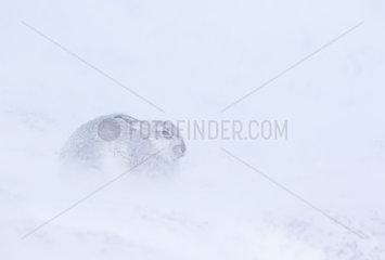 Mountain hare (Lepus timidus) amongst a snow storm  Cairngorm  Scotland