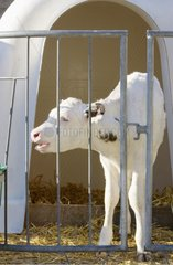 Veau Prim'Holstein nouveau-né en case individuelle