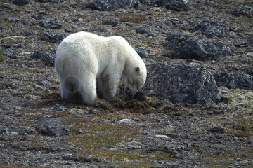 Polar bear (Ursus maritimus) digging out Ungava collared lemming (Dicrostonyx hudsonius) from burrow  Nunavik  Quebec  Canada