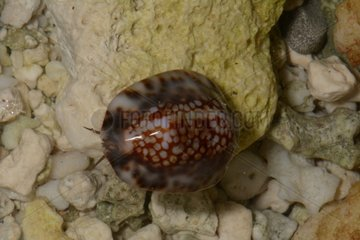 Depressed cowrie on Reef - Tahiti French Polynesia