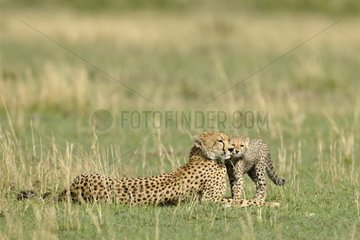 Cheetah female and young hug Masai Mara Kenya