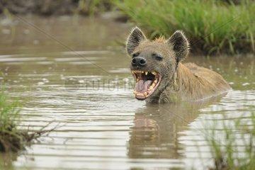 Spotted hyena yawning in a pool Masai Mara Kenya