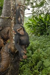 Young chimpanzee of approximately 2 years suspended to a branch