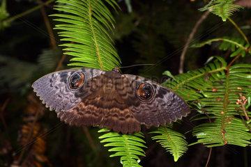Walker's Owl (Erebus walkeri) in forest at night  Andasibe  Perinet  Alaotra-Mangoro Region  Madagascar