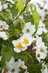 evergreen rose (Rosa sempervirens)  Hendaye  Pyrenees-Atlantiques  France