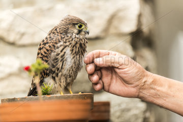 Common Kestrel (Falco tinnunculus) on a flowerpot approached by a man  Rougemont  Burgundy  France