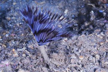 Peacock worm (Sabella pavonina)  Sea Lion Dive Site  Saint Raphael  French Riviera  France