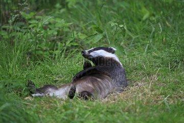 Eurasian Badger lying in grass
