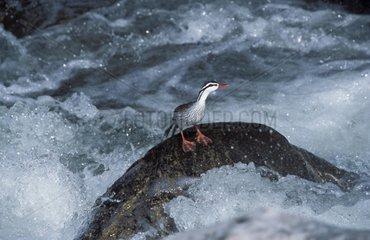 Merganette des torrents sur un rocher dans un cours d'eau