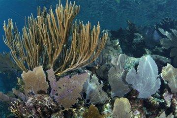 Gorgone sur un récif corallien Belize