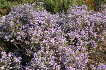 Aster 'Percy Blue' in october