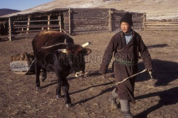 Man carrying out a cow drawing a loading from dried dung