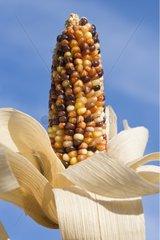 Multicolor ear of Corn native to Mexico France