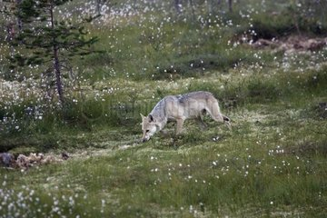 Common Grey Wolf in the forest Finland