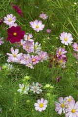 Cosmos en fleur dans un jardin