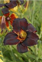 Hemerocallis 'Couvre Feu' flowers Burgundy France