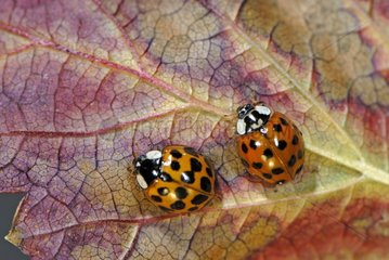 Asian Ladybirds adult on a leaf France