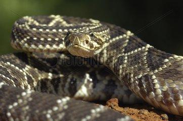 Portrait of Tropical rattlesnake