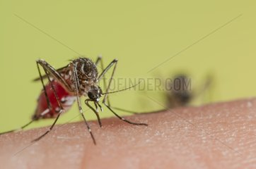 Yellow fever mosquito female biting a human