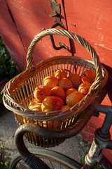 Harvest of apricots on a bicycle in a garden