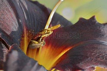 Bee in Hemerocallis 'Couvre Feu' flower Burgundy France