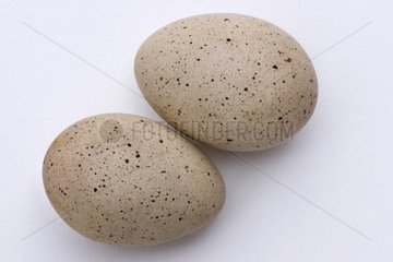 Portrait of two Common Coot eggs on a white background