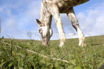 Horse grazing in pre in autumn Lozere France