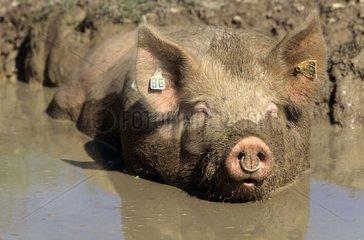Porc prenant un bain de boue dans sa bauge