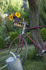 Sunflowers and lavender bouquet on a bicycle