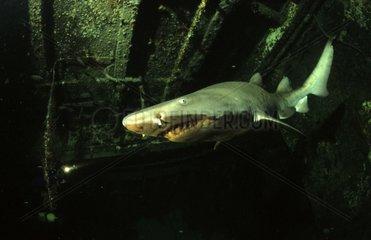 Requin taureau nageant dans une épave USA