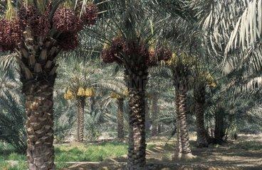 Palm trees UAE
