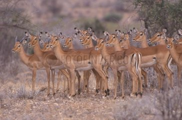 Group Impalas females in savanna Africa