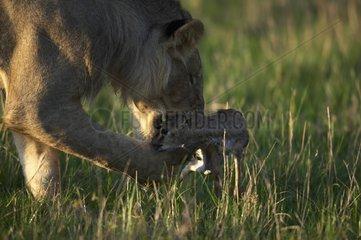 Lion plying with its young prey Masai Mara Kenya