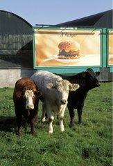 Vaches devant un panneau publicitaire pour hamburger Irlande