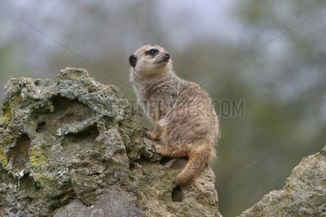 Meerkat in sentinel supervising the surroundings France