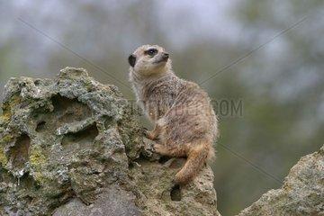 Meerkat in sentinel supervising the surroundings France